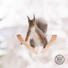 Red squirrel standing on skis looking at the viewer (Geert Weggen) Tags: squirrel red animal backgrounds bright cheerful close color concepts conservation culinary cute damage day earth environment environmental equipment love valentine photo winter snow openmouth ski sport wintersport bispgården jämtland sweden geert weggen hardeko ragunda