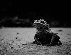 Ribbet (graemes83) Tags: ricoh gr frog toad animal black white close up