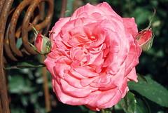 Sünder, komm, wir wollen gehen (amras_de) Tags: rose rosen ruža rosa ruže rozo roos arrosa ruusut rós rózsa rože rozes rozen roser róza trandafir vrtnica rossläktet gül blüte blume flor cvijet kvet blomst flower floro õis lore kukka fleur bláth virág blóm fiore flos žiedas zieds bloem blome kwiat floare ciuri flouer cvet blomma çiçek