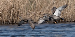 Gadwall ducks in flight (ftm599) Tags: northeast lake naturephotography nikonphotography wildlifephotography actionphotography photography nikon nature wildlife wild wings flying action birdsinflight birdinflight gadwalls gadwall ducks duck
