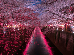 Pink Runway (Mutchi627) Tags: pink spring meguro river tokyo japan cherryblossom night light flower sakura 桜 目黒川 東京 春 夜 日本 川 光 夜桜 cherry blossom tree petal