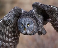 Great Grey Owl fixation (Archie Richardson) Tags: greatgreyowl alberta 2019