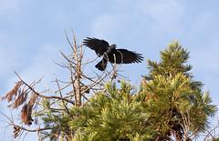Corvus brachyrhynchos (Dan Brekke) Tags: crows corvids corvusbrachyrhynchos berkeley americancrow