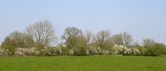 Blackthorn hedges (simonpfotos) Tags: maasheggen dutchlandscape