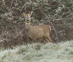 Roe Doe - on a frosty morning II (glostopcat) Tags: roedoe roedeer doe deer animal mammal wildlife winter january glos