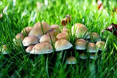 Sticking Toghether (Hindrik S) Tags: mushrooms fungus paddenstoel poddestoel herbst hjerst herfst autumn fall light ljouwert licht ljocht plant skepping schepping schöpfung creation nature natuur garden garten tún tuin sonyphotographing sony sonyalpha amount minoltaamount α77 slta77ii sonyilca77m2 sal1650 sony1650mmf28dtssm 2018 50mm f28