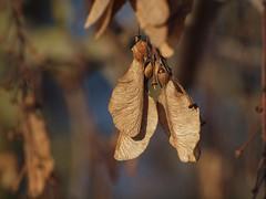 Geflügelte Frucht, Ahorn (photohml) Tags: ahorn frucht maple fruit makro macro photograf olympus zuiko 70300 fourthirds e620 bokeh