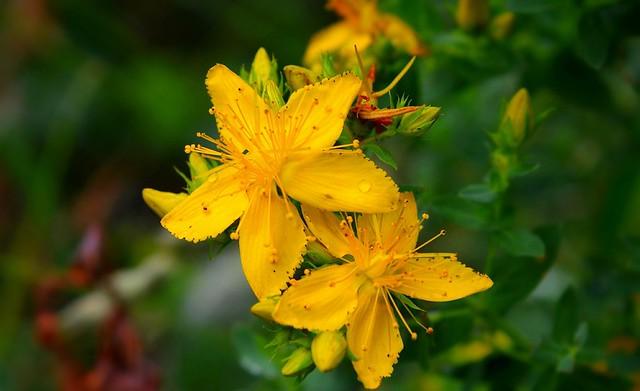 Обои Макро, зверобой, Macro, Желтые цветы, Tutsan, Yellow flowers картинки на рабочий стол, раздел цветы - скачать