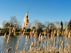 Awoken and dazed (Mellisapix) Tags: reed reeds lake water dazed haze blur blurred waking nature seeds springtime awaken typhalatifolia wetland bulrush plant aquatic