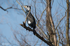 A Cormorant on the prowl! (andyp178) Tags: cormorant bird perch tree branch sky nikon sigma newport lanwern phalacrocoracidae aquatic sunshine