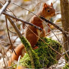 Red Squirrel (Eric KAROUTCHÉ) Tags: redsquirrel squirrel ecureuil boisdevincennes woods forest foret eosr ef100400mm nature animal