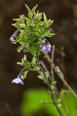 Baquiano Trail. Pacifica, CA. (j1985w) Tags: plants flowers pacifica california baquianotrail