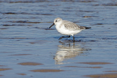 K32P7176c Sanderling, Titchwell Beach, Fevruary 2019 (bobchappell55) Tags: titchwell beach norfolk wild bird wildlife nature wader sanderling calidrisalba feeding