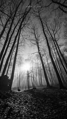 A faire peur... (ludivine.dias) Tags: forest foret fog brouillard blackandwhite blackwhite black white noiretblanc noirblanc noir blanc oie nature