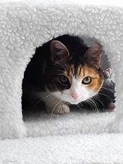 Misu again... (huoneenhaltijakissa) Tags: nature animal pet cat cats domesticcat misu cattree nest toyrat fun funny home kokkola finland