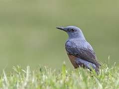 Male blue rock thrush. Monticola solitarius (okiox) Tags: monticolasolitarius blue rock thrush bird animal fauna okinawa japan asia common beautiful male resident ubiquitous philipinnes wildlife nature nikon d500 300mm28 field bokeh 鳥 自然 沖縄 動物 イソヒヨドリ