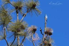Blue Bird (NikonDigifan) Tags: bluebird birdwatching bird nature naturephotography wildlife wildlifephotography turnbullnationalwildliferefuge wildliferefuge washington pacificnorthwest nikond850 nikon20050056 nikon mikegassphotography