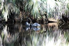 DSC_7398 (Fido Cat) Tags: nature frippisland southcarolina birds storks woodstork herons greenheron midnightheron egret