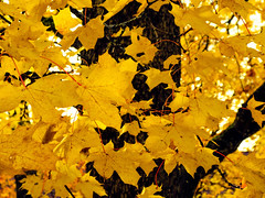 Autumn Color (Tim Lindstedt) Tags: nature landscape autumn fall yellow leaf leaves tree trees photography photo photograph photoshop canon camera digital scenary scenery scenic province october sweden sverige