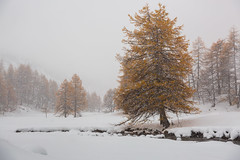 Snow In Fall (Nicolas Gailland) Tags: landscape nature paysage montagne mountain hiver winter snow neige fall autumn treees arbres white nevache névache claree clarée cerces galibier alpes alps alpe france canon hitech gnd mark