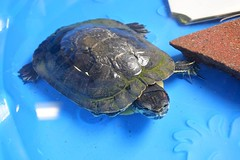Max the red-eared slider