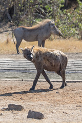 Hyena and Warthog