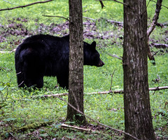 DSC_5921 (TDog54Photography / TCS Photography) Tags: black bear bears smoky mountains tennessee cades cove wildlife wild life animal american north america ursus americanus animals forest national park great