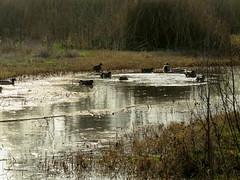 Waterfowl (Kelson) Tags: pond birds marsh reeds california madronamarsh torrance hike nature southbay
