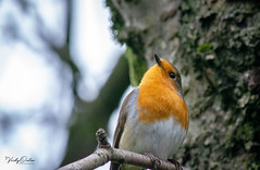 Robin (vickyouten) Tags: robin robinredbreast nature wildlife wildlifephotography britishwildlife nikon nikond7200 nikonphotography nikkor55300mm warrington uk vickyouten