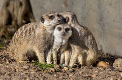 Bundle of Meerkats (Orias1978) Tags: africa animal brown curious cute face fur look mammal meerkat mongoose places portrait rock small white wild zoo african alert attention background captive closeup creature desert eyes family funny guard hair isolated kalahari lookout meercat meerkats mouth nature safari snout south southafrica standing suricata suricate suricatta timon upright watchful wilderness wildlife