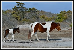 TB7_5061 mom and babe with frame (tbullipoo) Tags: assateague pony foal