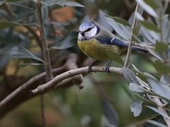 Cinciarella (cyanistes caeruleus) (Paolo Bertini) Tags: cinciarella cyanistes caeruleus blue tit birdwatching birding verona borgo nuovo