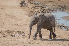 Splattered (Tris Enticknap) Tags: africanelephant zambia elephant southluangwa africa loxodontaafricana