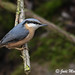 Nuthatch-4332 (Judi.Mahon (Trying hard to catch up)) Tags: nuthatch