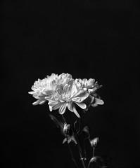 (cameronjhayden1) Tags: flower flowerphotography flowers botanical black blackandwhite largeformatfilm filmphotography film largeformat