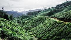 Cameron Highlands (Cédric Nitseg) Tags: malaisie travelling outdoor backpacker nikon malasia travel vert green thé voyage cameronhighlands d7000 plantation tea greelow