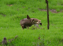 DSC_0058 (tracie7779) Tags: blacktaileddeer losangeles muledeer thegettymuseum california grass hillside