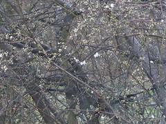 Plum Tree Begins to Blossom (river crane sanctuary) Tags: plum tree blossom rivercranesanctuary