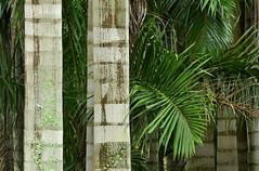 Texturas nas palmeiras (Márcia Valle) Tags: márciavalle nikon d5100 brasil minasgerais brazil verão summertime palmeiras texturas palmtrees textures