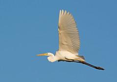 Great Egret (mishko2007) Tags: egrettaalba greategret korea 200500mmf56
