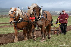 07 Rough (manxmaid2000) Tags: plough horse cob pair field farm agriculture harness pull ploughing furrow isleofman working horses animal fuji two collar pulling power