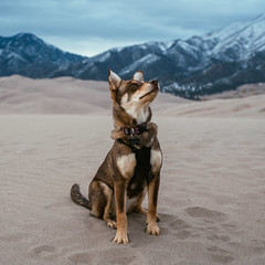 Stella, on top of the world. (M///S///H) Tags: lenstagger colorado dog excersise getoutdoors greatsanddunes hike hiking nationalpark outside pupper puppy sanluisvalley sanddunes sangredecristo slv sogportrait stella walking
