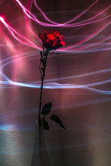 Lightpainting Rose (Meastrology) Tags: l light licht leuchten lightroom lightpainting nature natur magic magical magisch macro makro canon color colors colour colours conceptual concept colourful red rot rose flower flowers dream dreamy schön studio photo portrait picture plant phantasie phantasy photography pink beauty beautifull blume blossom blüte blossoms blumen blüten blatt blätter leaves leaf glow glowing glühen art artistic artificial künstlich plastik plastic