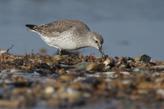IMGP3143k Knot, Titchwell beach, February 2017 (bobchappell55) Tags: titchwell beach wader bird nature wild wildlife knot calidriscanutus