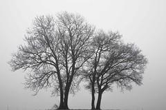 Ensemble **--- ° (Titole) Tags: trees mist nicolefaton titole silhouette thechallengefactory friendlychallenges perpetualchallenge