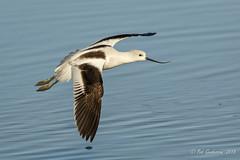 American Avocet (Bob Gunderson) Tags: americanavocet baylands birds california northerncalifornia recurvirostraamericana santaclaracounty shorebirds southbay