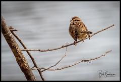 Song Starling (bob_sanderson) Tags: melvillepark setauket bird birds songsparrow sparrow