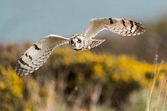D85_7158 (WildKernow) Tags: see shortearedowl cornwall newquay uk owl