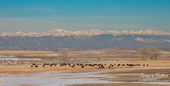 March 17, 2019 - Bison graze on the plains. (Tony's Takes)