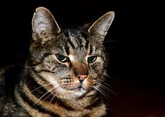 The Norwegian Forest Cat (Terje Håheim (thaheim)) Tags: katt cat norwegianforestcat forestcat pet nikon nikond500 d500 sb700 1680mmf284eedvr